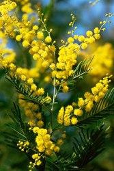 mimosa foglie bipennate
