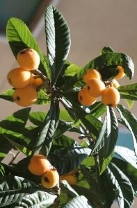 nespolo frutti