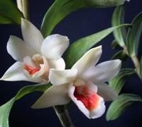 orchidea foglie resistenti