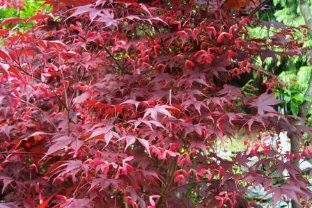 Acero palmato for Pianta con foglie rosse