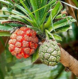 frutti commestibili