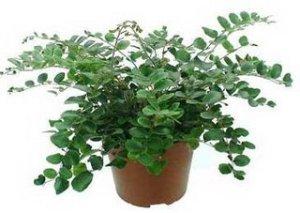 pellaea, polipodiaceae