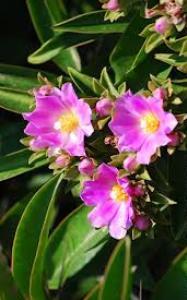 pereschia fiori