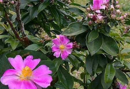 pereschia, cactaceae