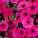 petunia fiori a imbuto