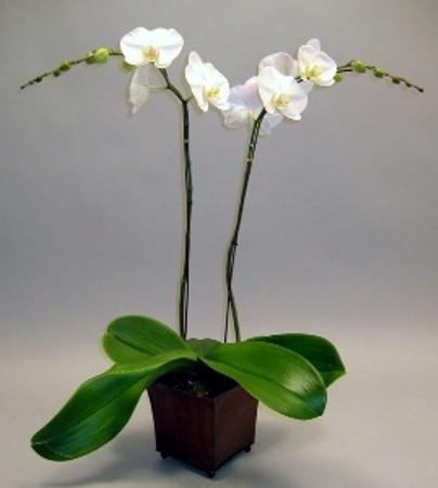 phalaenopsis orchidaceae