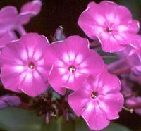 phlox fiori tubolari