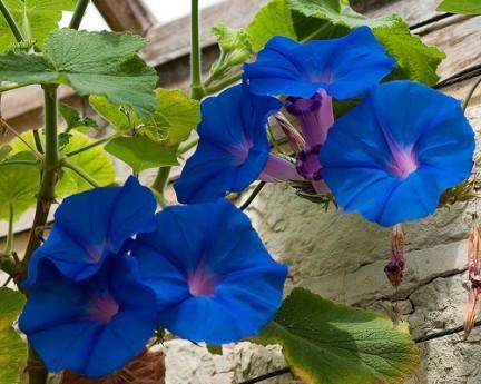 ipomea acuminata fiore blu