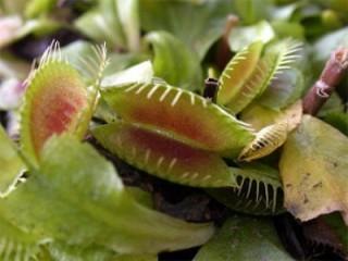 dionea pianta carnivora