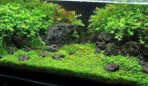 acquario d'acqua dolce piante
