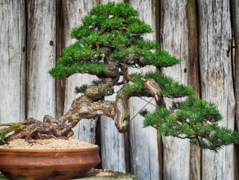 pino coltivazione bonsai