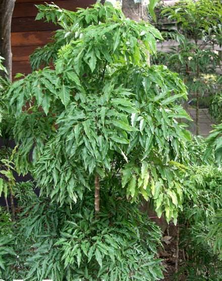 polyscias araliaceae