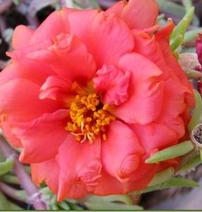 fiori appariscenti