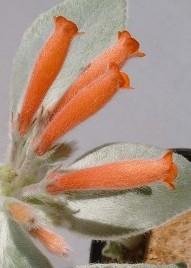 rechesteineiria fiori tubuliformi
