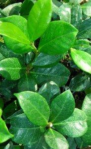 foglie allungate