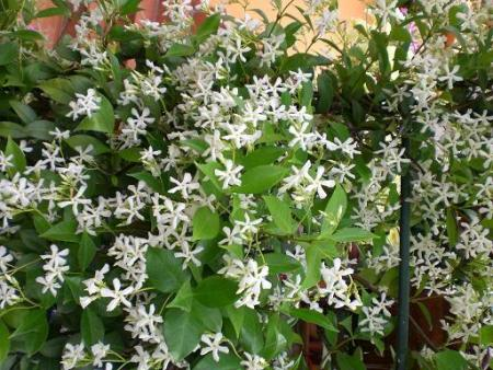 rincospermo Apocinaceae