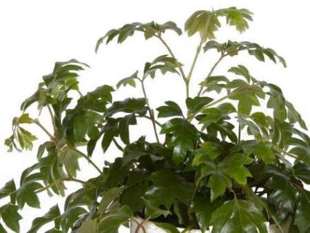 Roicisso, Vitaceae