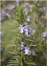 Rosmarino fiori ermafroditi