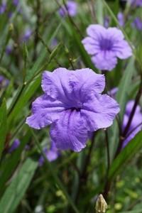 ruellia fiori