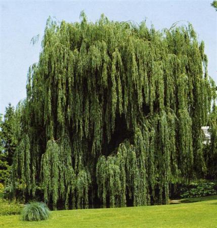 Alberi tipi nomi e immagini - Alberi ornamentali sempreverdi da giardino ...