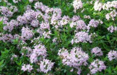 santoreggia domestica,Satureja hortensis