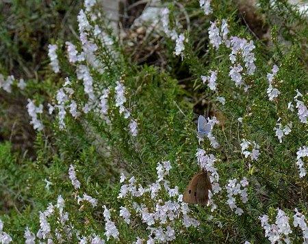 santoreggia montana, Satureja montana