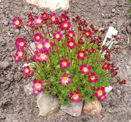 saxifraga, saxifragaceae
