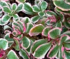 sedum foglie carnose