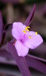 fiore a tre sepali