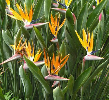 strelitzia, Musaceae