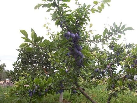 susino, Prunus domestica