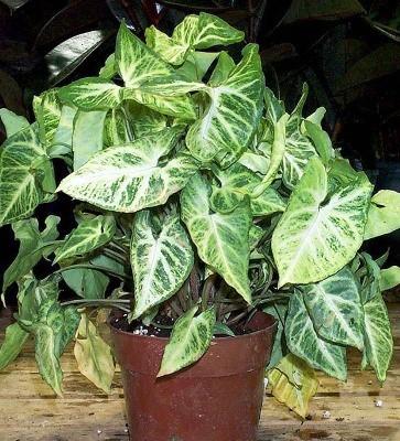 Singonio Syngonium Araceae