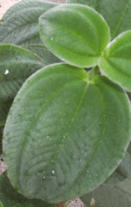 foglie cuoiose