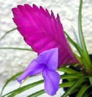 tillandsia fiori appariscenti