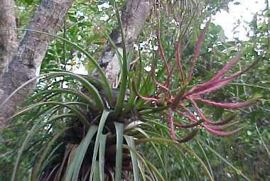 Bromeliaceae;