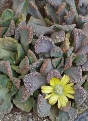 titanopsis foglie triangolari