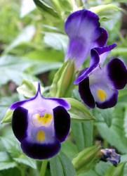 torenia fiori a trombetta