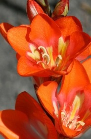 tritonia fiori