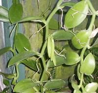 vaniglia foglie ovali