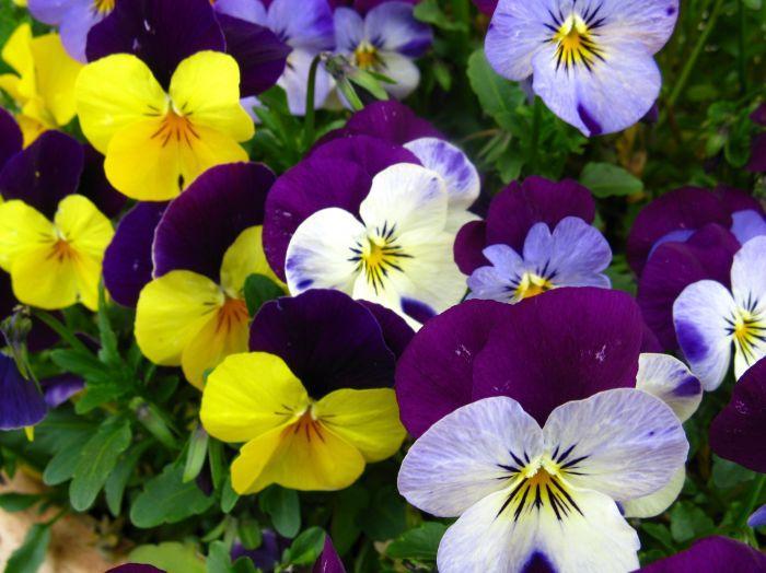viola ibryda