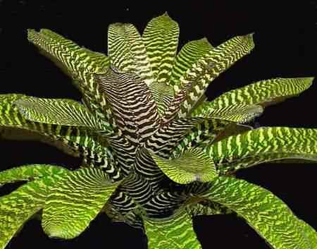 vriesea foglie