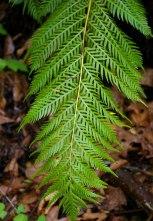 woodwardia foglie incise