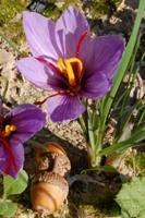 fiore violetto