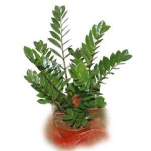 High Quality La Zamia è Una Pianta Di Natura Sempreverde Appartenente Alla Famiglia  Delle Zamiaceae. Essa è Molto Nota Per La Forma... Continua