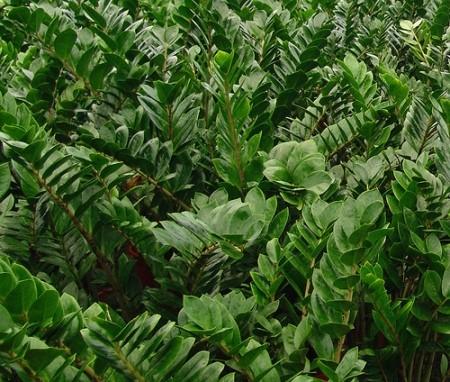 Zamia, Zamioculcas zamiifolia