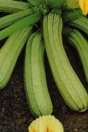 zucchina frutto